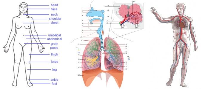 Žmogaus kūno modeliai